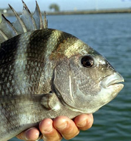 What is the most harvested saltwater fish in the united for Northeast saltwater fishing reports